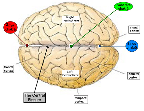 top-view-brain
